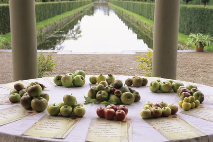 Apples laid out on a circular table at Westbury Court Garden as part of their 1st apple day