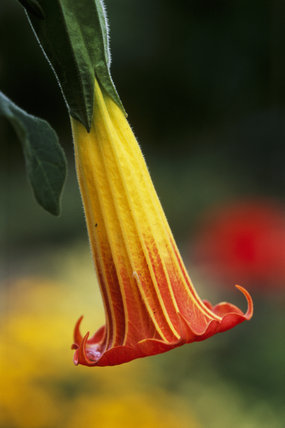 Close-up of an Angel's Trumpet (Brugmansia sanguinea (syn. Datura sanguinea) blooming in Nymans Garden, Sussex
