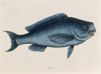 The Blue Fish (plate 18), Mark Catesby, The Natural History of Carolina (London, 1754) The Library, Blickling Hall