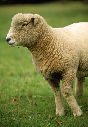 Close view of the head and front legs of a pedigree Ryland sheep at Warren Farm on the Brockhampton Estate
