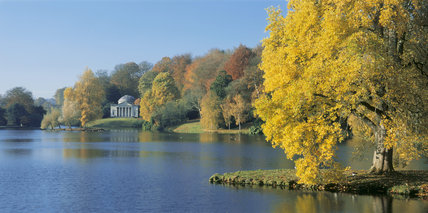 The light golden leaves of a Liriodendron tulipifera (tulip tree) on an island in the lake at Stourhead