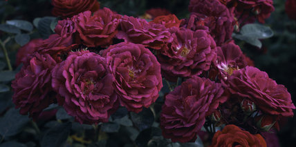 A beautiful bunch of deep pink coloured roses 'Zigeunerknabe' in Mottisfont Abbey garden, in Hampshire