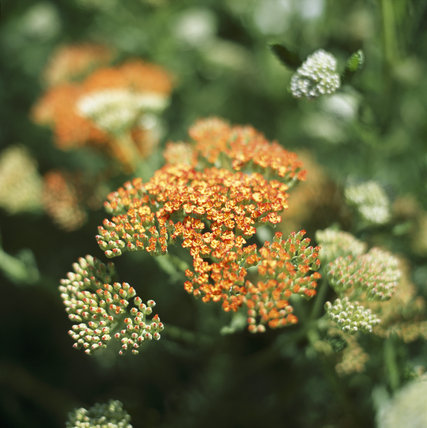 Achillea (Compositae) 'Feuerland' in the gardens of Anglesey Abbey
