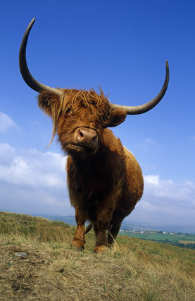A Highland cow with a magnificent spread of horns, on the moor by Lantern Wood