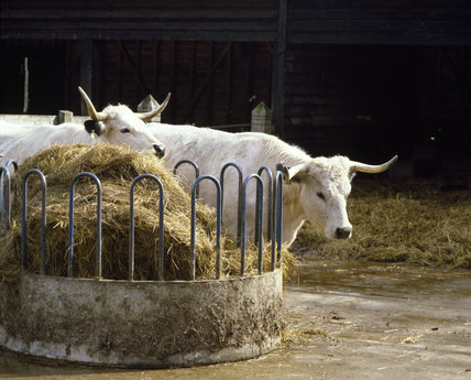 A pair of white park cows standing by a manger at Wimpole Home farm