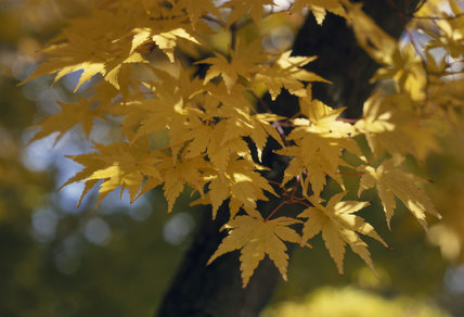 A close view of the leaves from the Acer 'Senkaki' tree, a type of Maple tree