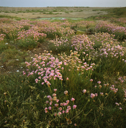 Thrift covering the ground near Cobra Mist at Orford Ness