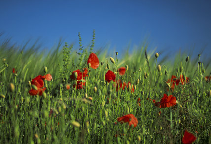 Close up of poppies against green grassland at Fontmell Downs