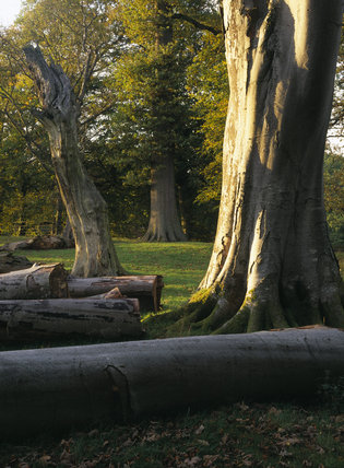 Rotten tree trunks and logs left at Dinefwr Park to provide habitats for insects and lichen
