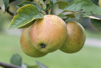 Some Pitmaston Fine Apples hand in the orchard at Berrington Hall
