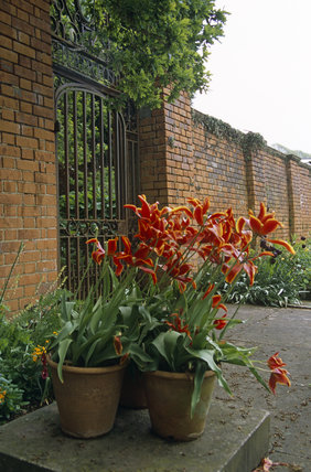 Tulips in terracotta pots in one of the Courtyards in the garden at Tyntesfield, North Somerset