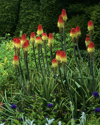 The Courts, closeup of kniphofia - red hot pokers