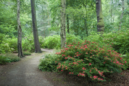 A path winding through the Azaleas in the Garden Wood at Dunham Massey, Cheshire