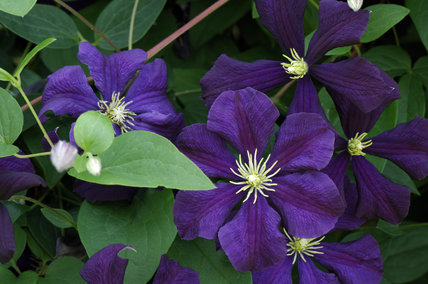 Clematis Etoile Violette in the Walled Garden in July at Mottisfont Abbey Garden, Hampshire