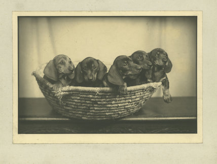 Mrs Ferguson's five puppies