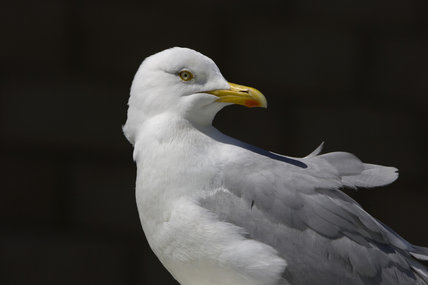 Herring Gull (Larus argentatus) at Seahouses Harbour, Northumberland