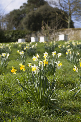 A pretty Spring scene with beehives and daffodils in the Orchard at Cotehele, Cornwall