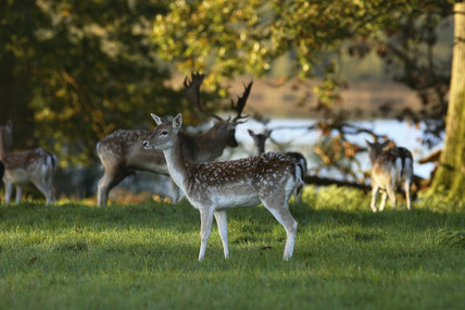 Fallow deer (Dama dama) grazing peacefully at Crom Estate, Co. Fermanagh, Northern Ireland.
