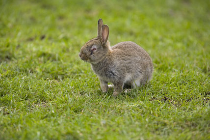 Rabbit exhibiting the signs of the disease Myxomatosis, on the maritime grassland on the cliff top at Branscombe, Devon