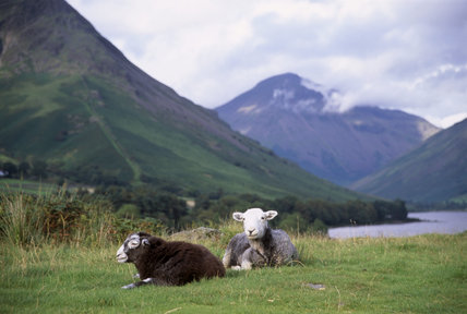 Two Herdwick sheep, one with shorn coat, the other still in fleece, at Wast Water in the Lake District, Cumbria, Yew Barrow in the distance