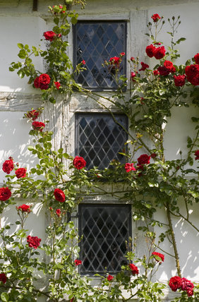 Red rambling roses frame three diamond pane windows at Lower Brockhampton House, the medieval manor house on the Brockhampton Estate in Worcestershire