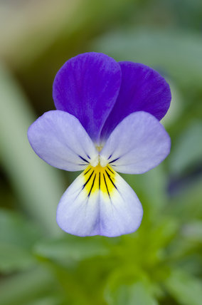 The Delicate Flower Of Viola Tricolor Heartsease Or Wild
