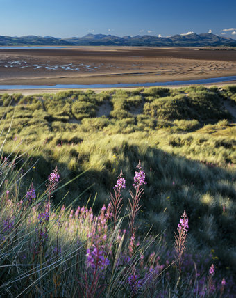 Willowherb decorates the dune grasses at Rosebay, Sandscale Haws, with vast sandflats by the estuary beyond, and the hills of the southern Lake District in the background