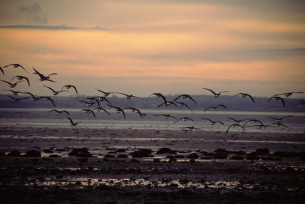 Brent geese over Strangford Lough In Search of Neptune, page 136