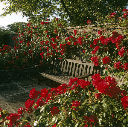 A garden seat, surrounded by red roses, in the walled Rose Garden, at Compton Castle