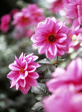 Close-up of pink dahlia flowers in the garden at Hinton Ampner, probably the variety