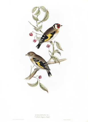 BIRDS OF EUROPE - GOLDFINCH (Carduelis elegans) by John Gould, London 1837, from the Library at Blickling Hall