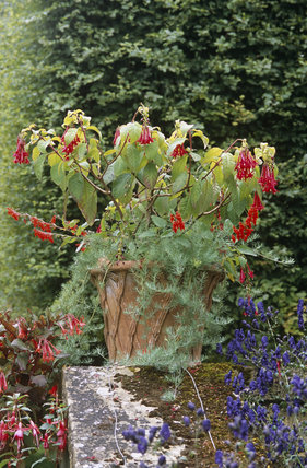 Container with Fuchsias, onagraceae, at Hidcote Manor Garden