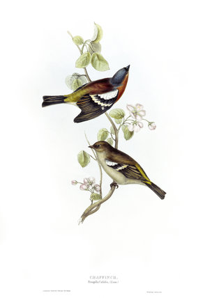 BIRDS OF EUROPE - CHAFFINCH (Fringilla coelebs) by John Gould, London, 1837, from the Library at Blickling Hall