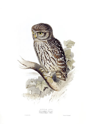 BIRDS OF EUROPE - LITTLE OWL (Strix nudipes) by John Gould, London, 1837, from the Library at Blickling Hall
