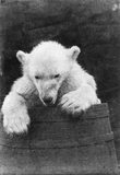 Polar bear in a barrel