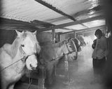 Siberian Ponies in the Stable at Winterquarters Hut. (Captain Oates)