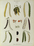 Runner beans, Album Benary / Lithograph