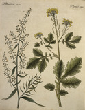 Mustard and Tarragon / Etching / 1796