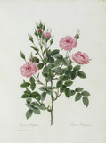 Rosa Pomponia / Redoute 1835