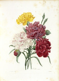 Carnations / Redoute