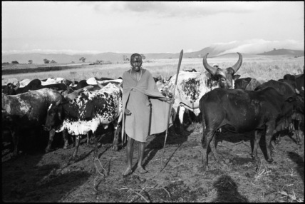 Maasai herder with cattle
