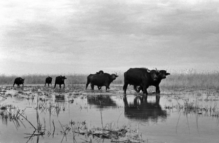 Buffaloes in the Marshes