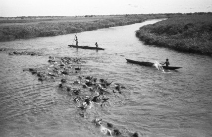 Cattle crossing the River Nile