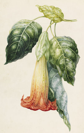 Datura Rosei (Thorn Apple), by A.I. Withers