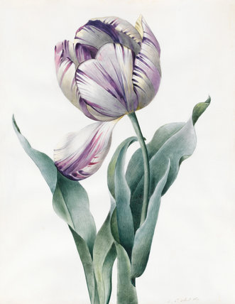Rembrandt Tulip, by Louise d'Orleans