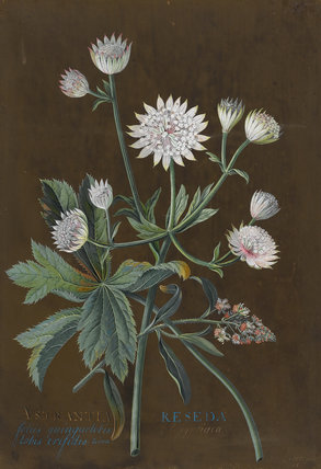 Astrantia Major and Reseda Odorata, by Georg Dionysius Ehret