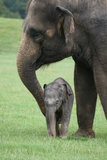Donna the elephant calf