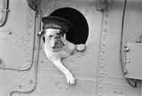 Venus' the bulldog mascot of the destroyer HMS VANSITTART, 1941.