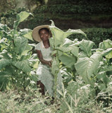 Marie David inspecting tobacco plants at the Hillsborough Tobacco Estate in Dominica in the Windward Islands, March 1955.
