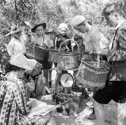 Boy Scouts bring in baskets of plums for weighing on the fruit-picking farm near Cambridge in 1944.